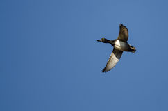 Ring-Necked Duck Flying in a Blue Sky Royalty Free Stock Photo