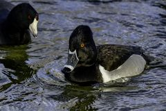 Ring-Necked Duck stock image