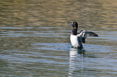 Ring-Necked Duck Stretching Its Wings While, das auf dem Wasser stillsteht Lizenzfreies Stockfoto