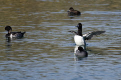Ring-Necked Duck Stretching Its Wings While Resting on the Water Stock Images