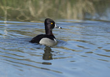 Ring necked duck. Royalty Free Stock Photo