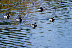 Ring-Necked Ducks Swimming on the Water Royalty Free Stock Images
