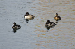 Ring-Necked Ducks Swimming on the Water Stock Photos