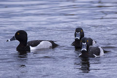Ring-necked Ducks. Three male ring-necked ducks swimming at the Viera Wetlands in Florida royalty free stock image