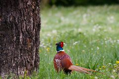 Ring necked male pheasant on a bright sunny day stock photography