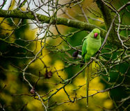 Ring Necked Parakeet Royaltyfria Bilder