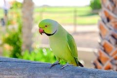 Ring-necked parakeet on Fuerteventura, Spain. stock photos