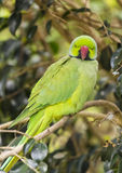 Ring Necked Parakeet Stock Images