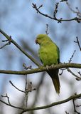 Ring-necked Parakeet perched on a branch royalty free stock photo