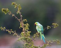 Ring-necked parakeet perched in a tree. Portrait of a green ring-necked parakeet perched in a tree stock image