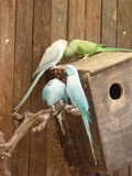 Ring-necked parakeet Psittacula krameri and Blue Indian Ringneck Parakeet. On the nest box Royalty Free Stock Photography