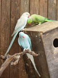 Ring-necked parakeet Psittacula krameri and Blue Indian Ringneck Parakeet. On the nest box Stock Images