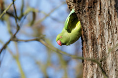 Ring-necked Parakeet (Psittacula krameri). Hangin from its' nesting hole Stock Images