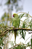 Ring-necked parakeet, Psittacula krameri Royalty Free Stock Image