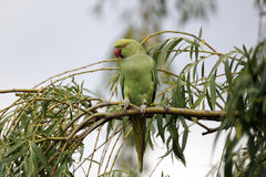 Ring-necked parakeet, Psittacula krameri Stock Photography