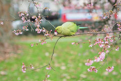 Ring necked parakeet, Psittacula krameri in the tree. The view of the green rose-ringed (ring necked) parakeet, Psittacula krameri, eating flowers in the tree Stock Photography