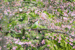 Ring necked parakeet, Psittacula krameri in the tree. The view of the green rose-ringed ring necked parakeet, Psittacula krameri, eating flowers in the tree Stock Images