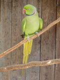 Ring-necked parakeet Psittacula krameri. On a twig Stock Photo