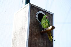 Ring-necked parakeet. On the wooden cages Stock Photos