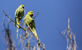 Ring-necked parakeets with Blue Sky Background Royalty Free Stock Photo