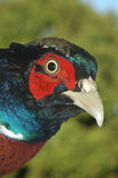 Ring-necked pheasant Stock Images