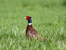Ring-necked Pheasant Royalty Free Stock Photos