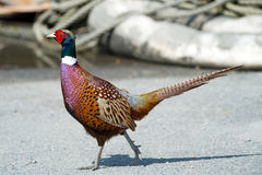 Ring-necked Pheasant Royalty Free Stock Image