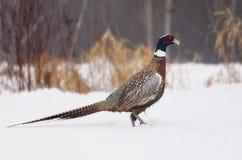 Ring-necked pheasant Royalty Free Stock Photo