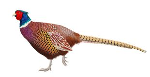 Ring- necked Pheasant. A beautiful male Ring- necked pheasant  on a white background illustrated by Steven Russell Smith Stock Image