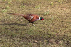 Ring-necked Pheasant Bird finding food. Ring-necked Pheasant Bird walking and finding food in Grass Field stock image