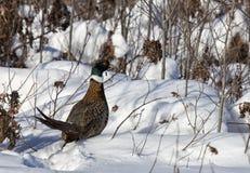 Ring-necked pheasant Royalty Free Stock Photos
