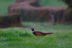Ring-necked pheasant Stock Photo