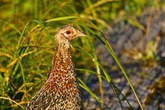 Ring-necked Pheasant female Stock Photo