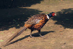 Ring-necked pheasant Royalty Free Stock Photo
