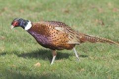 Ring-necked Pheasant (Phasianus colchicus) Stock Image