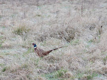 Ring Necked Pheasant Stock Photos