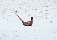 Ring-necked Pheasant running in the snow Royalty Free Stock Photography