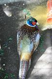 Ring necked pheasant looking over its shoulder at the camera royalty free stock images