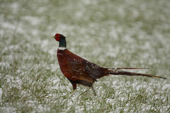 Ring necked pheasant in the snow Stock Photos