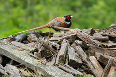 Ring-necked Pheasant Stock Image