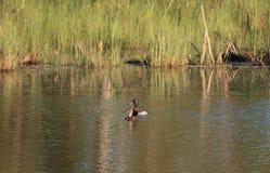 Ring-necked Pheasant royalty free stock image