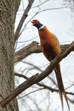 Ring-necked Pheasant in tree making noise Royalty Free Stock Images