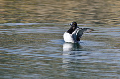 Ring-Necked Stretching Its Wings While Resting on the Water Stock Image