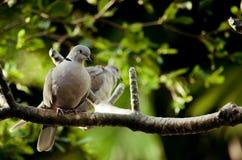 Ring-necked Taube zwei, welche die Sonne genießt Stockbilder