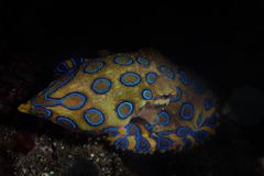 Ring Octopus azul em Indonésia imagens de stock