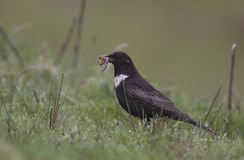 Ring Ouzel Photographie stock libre de droits