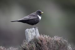 Ring ouzel, Turdus torquatus Royalty Free Stock Images