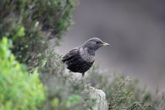 Ring ouzel, Turdus torquatus Stock Photography