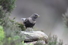 Ring ouzel, Turdus torquatus Stock Images