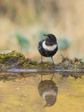 Ring Ouzel with water reflections Stock Photography
